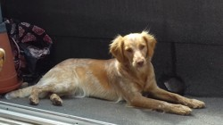 Méli-Mélo, chien Épagneul breton