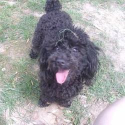 Melie, chien Caniche