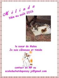 Melinda, chat Européen