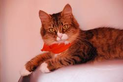 Méline, chat Norvégien