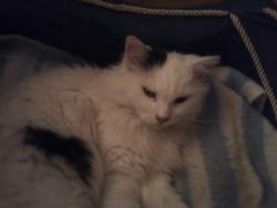 Mélisse, chat
