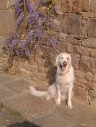 Melisse, chien Golden Retriever