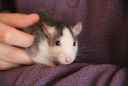 Melle Tac, rongeur Rat
