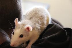 Melle Tic, rongeur Rat