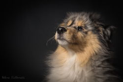 Mello, chien Colley à poil long