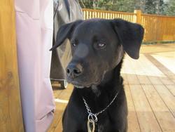 Melly, chien Labrador Retriever