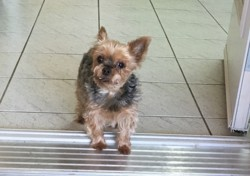 Melodi, chien Yorkshire Terrier