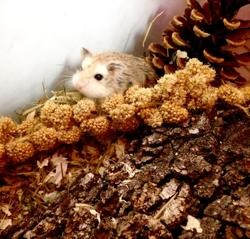 Melodia, rongeur Hamster
