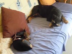 Melodie, chien Jagdterrier