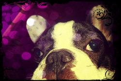 Mélofée, chien Bouledogue français