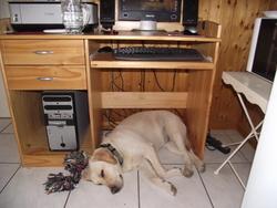 Melrose Nala, chien Labrador Retriever