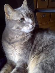 Melusine, chat Européen