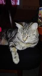 Mélusine Surnommée Lulu, chat Européen