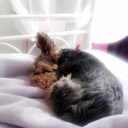 Mely, chien Yorkshire Terrier