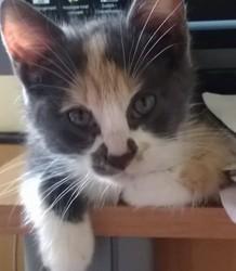 Mélysse, chat Européen