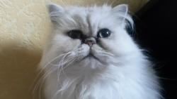 Mêm-Ling, chat