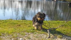 Mémo, chien Yorkshire Terrier