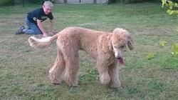 Memphis, chien Caniche