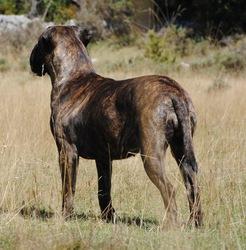 Mendikumekoa Burne, chien Bullmastiff