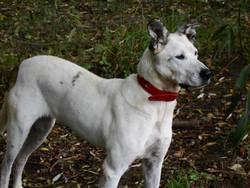 Mendye, chien Labrador Retriever