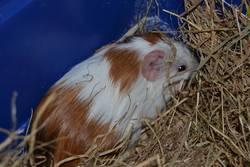 Menthol, rongeur Cochon d'Inde