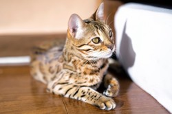 Meow, chat Bengal