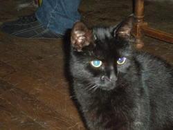 Mephisto, chat Européen