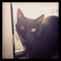 Méphisto, chat Européen