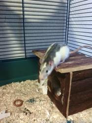 Méphisto, rongeur Rat