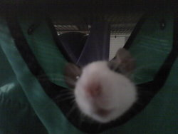 Mercedes, rongeur Rat