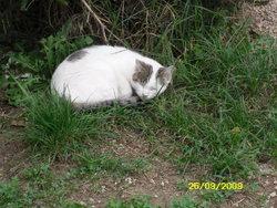 Meringue, chat Européen