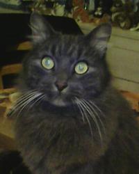 Merlin, chat Européen