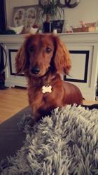 Merlin, chien Teckel