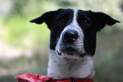 Merlin, chien