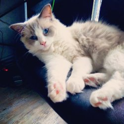 Merlin, chat Ragdoll