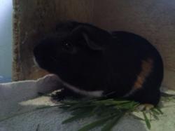 Merlin, rongeur Cochon d'Inde