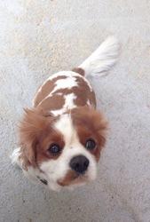 Merlin, chien Cavalier King Charles Spaniel
