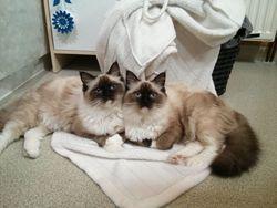 Calli Et Méry, chat Ragdoll