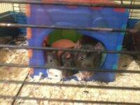 Mes Loulous, rongeur Rat