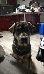 Meska, chien Labrador Retriever