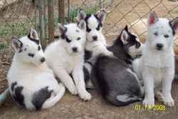 Mesptithousky, chien Husky sibérien