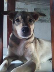 Messi, chien Berger allemand