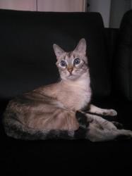 Météor, chat Siamois