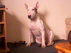 Meterfi, chien Bull Terrier