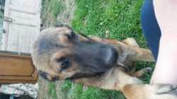 Meurphy, chien Berger belge