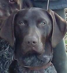 Mex, chien Braque allemand à poil court