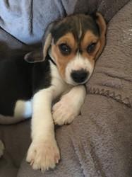 Mezzo, chiot Beagle