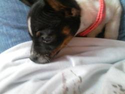 Mheela, chien Jack Russell Terrier