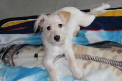 Mia, chien Schnauzer