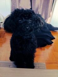 Mia, chien Caniche